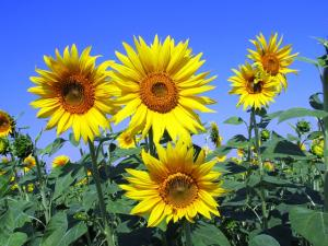 sunflowers-268015 640